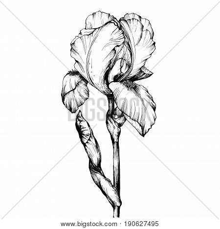 Graphic the branch flower Iris. Coloring book page doodle for adult and children. Black and white outline illustration. Decorative ornamental flowers for printing on t-shirts or coloring books.