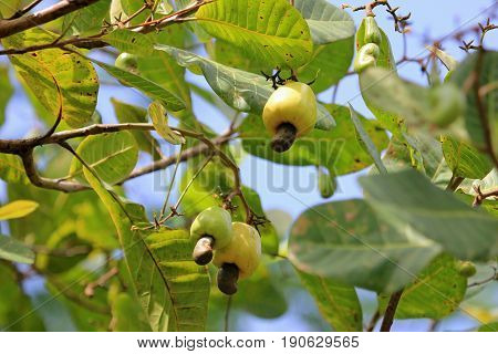 Cashew fruit, anacardium occidentale, hanging on tree, Belize Central America