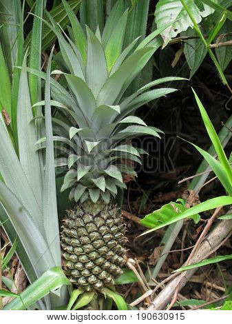 Wild pineapple fruit growing in Belize, Central America