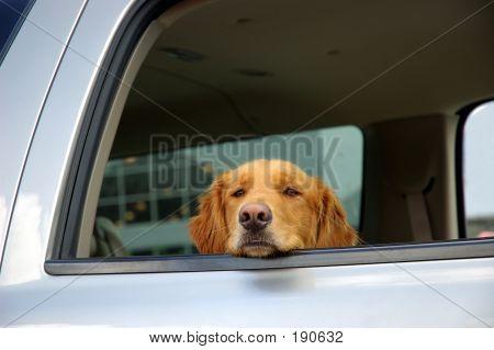 Bored Dog In A Car Window