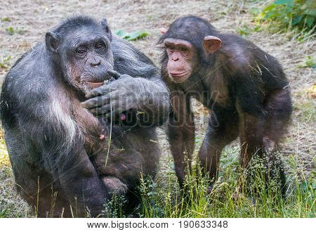 mage of two animals chimpanzee female with cub