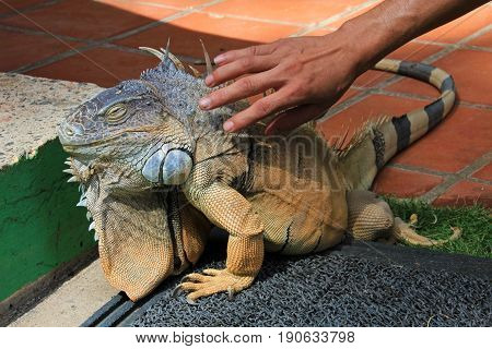 Green iguana, also known as Common Iguana or American Iguana touched by human, El Salvador, Central America