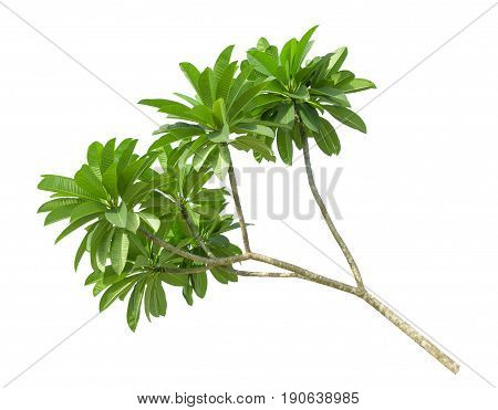 branch of green frangipani leaf isolated on white background top view