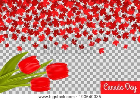 Canada day background with maple leafs and tulips for 1st of July celebration on transparent background. Vector Illustration. Independence Day of Canada.