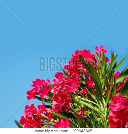 Pink Flowers Nerium oleander on blue sky background selective focus. As ornamental plants the oleander is widely used in landscape design. Web banner Square Image With Copy Space