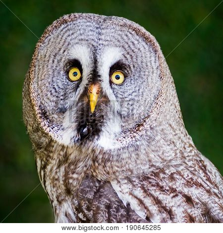 Great Grey Owl With eyes wide open