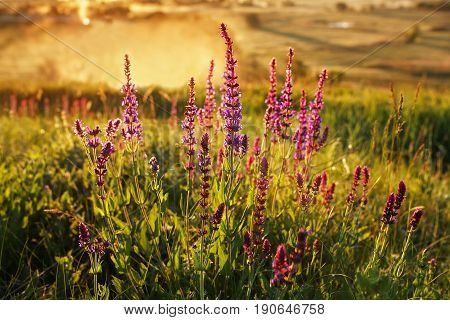 blossoming sage or salvia on summer meadow at sunrise or sunset. Sage flower in sun beams. Summer landscape. Wild flower. Medicinal plant