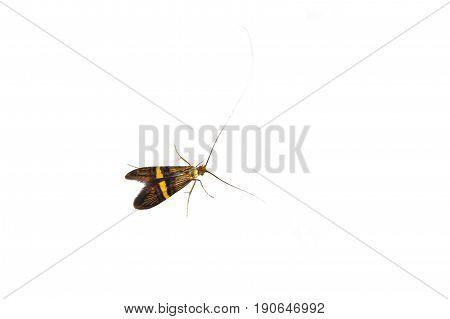 Longhorn Moth (adela Degeerella) On A White Background