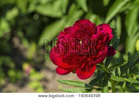 In the spring on a sunny day a bright red peony flower of many tender petals among the green leaves.
