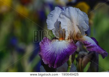 Orange villi on white and purple iris petals in one flower.