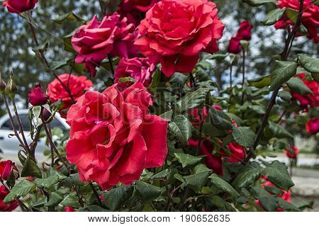 Rose paintings, color-colored roses, red roses in the garden
