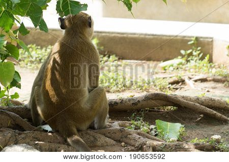 monkey alone asia only lonesome wildlife nature