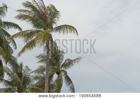 coconut tree beach strom monsoon windy nature