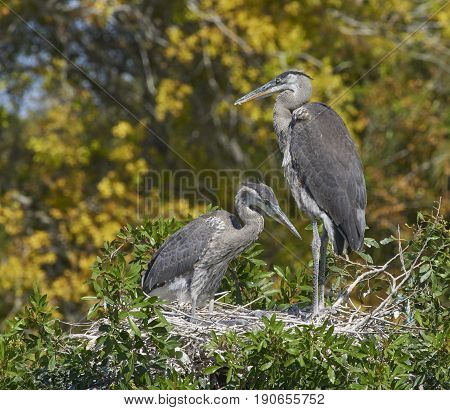 Great Blue Heron on nest feeding chick