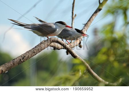 Two common terns (Sterna hirundo) sitting on tree branch