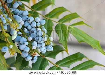 focus on mahonia aquifolium oregon grape in the agrden