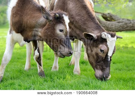 Two brown cows on a summer pasture