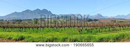 GRAPE FARM, STELLENBOSCH,  WESTERN CAPE, SOUTH AFRICA 24kkiu