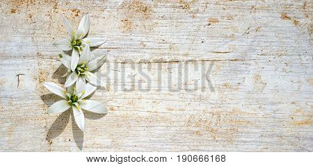 Three Star Of Bethlehem Flowers Frame On A Wooden Background With Copy Space For Your Text
