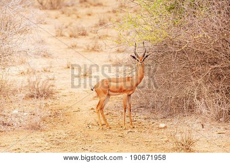 Portrait of gerenuk or giraffe gazelle standing near bushes at African savannah