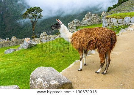 Lama grazing at Machu Picchu-incas ruins in the peruvian Andes, Cuzco Peru