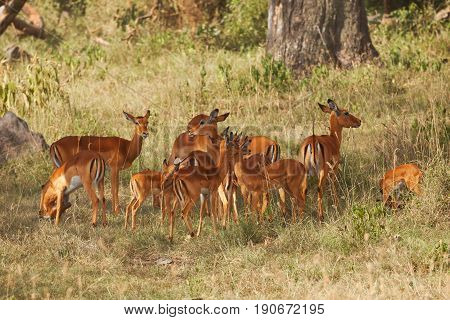 The herd of female impalas with calves pasturing in shadows of Kenyan woodland, Africa