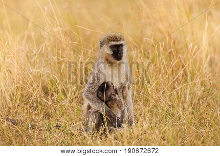 Portrait of female vervet monkey suckling her baby, sitting in tall grass of African savannah