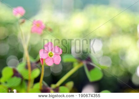 Flower of good luck plant on blurred background