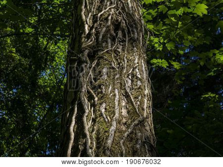 View on an old Tree covered with Root. Close-up of an Old Tree in the Forest. Roots on a Tree