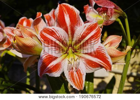 Beautiful amaryllis plant blossoming in the garden