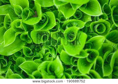 Close-up of curvy leaves with water droplets in a garden natural background
