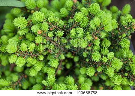 Close-up of juniper tree branches in a garden natural background