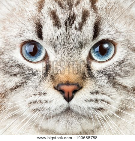 Male lynx point Siberian colorpoint Neva Masquerade cat closeup