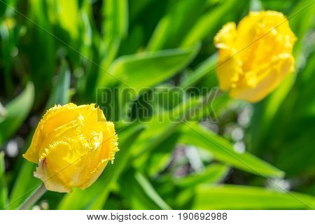 On the bed are two yellow Tulip. In the background we see green leaves and grass. The middle Tulip is depicted sharply. Far a Tulip in a blur.