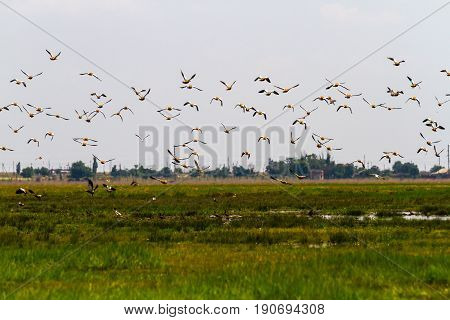 From a green grassy field a huge flock of ducks-ogarej flies into the sky. Over the field in the heat haze