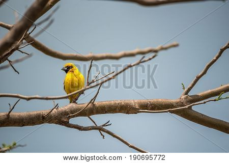 Bird (asian Golden Weaver) On A Tree