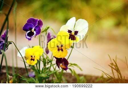 Flowering colorful pansies in the garden as floral background in summer day. Selective focus on one flower