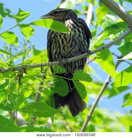 Female Red-winged Blackbird on a tree in Humber Bay Park on bank of the Lake Ontario in Toronto Canada June 8 2017