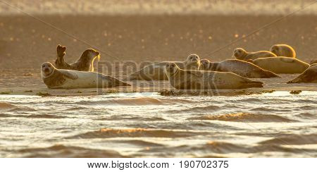 Harbor Seals On Sandbank