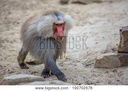 Male Hamadryas Baboon Walking