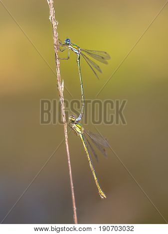 Pair Of Small Emerald Spreadwing Dragonfly