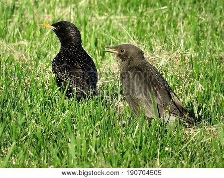 Adult and young starlings in Toronto Canada June 7 2017