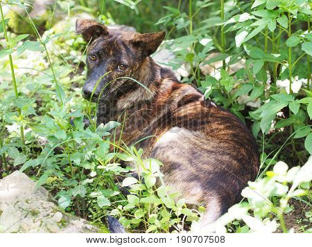 Thai tricolor dog lying on grass and looking up