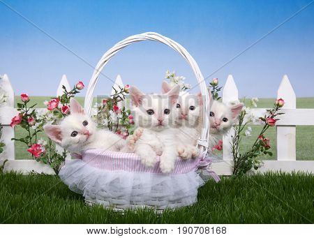 Four fluffy white kittens sitting in white basket with frilly lace in green grass backyard lawn white picket fence background with pink roses and white flowers meadow behind with blue sky