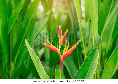 Pandanus flowers with the beauty of nature in garden.