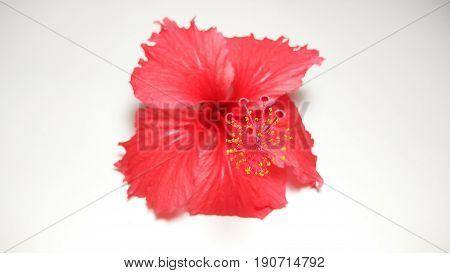 hibiscus flower close up element photo stock