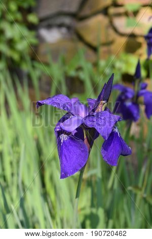 Pretty cluster of blooming purple Siberian iris in the spring.