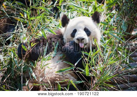 Panda Lying Down In Grass And Showing Is Tongue