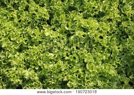 Fresh green curly Lettuce salad background . Top view .