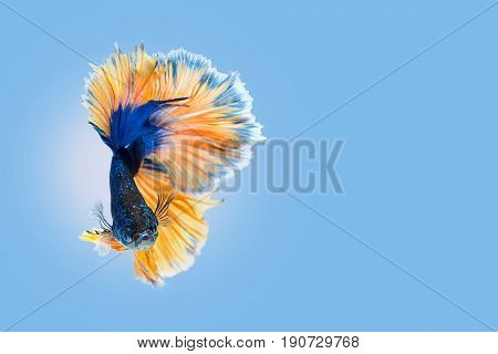 Capture the moving moment of blue yellow siamese fighting fish on blue background. Dumbo betta fish